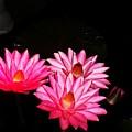 Three Night Lilies  by Eric  Schiabor