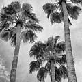 Three Palms Bw Palm Springs by William Dey