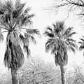 Three Palms by Gary Richards