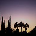 Three Palms In California At Sunset by Teresa Mucha