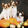 three puppy with pumpkin by Iuliia Malivanchuk by Iuliia Malivanchuk
