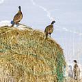 Three Roosters by Dan Kinghorn