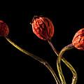 Three Rose Hips by  Onyonet  Photo Studios