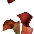 Three Rust Calla Lilies by Heather Kirk