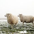 Three Sheep In Winter by MarcelTB