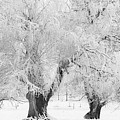 Three Snow Frosted Trees In Black And White by James BO  Insogna