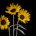Three Sunflowers Light Painted On Black by Vishwanath Bhat