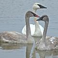 Three Swans Swimming by Kathy M Krause