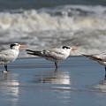 Three Terns by Dan Williams