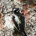 Three Toed Woodpecker  by Ruth Jolly