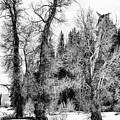 Three Trees Bw by Belinda Greb