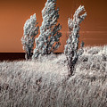 Three Trees  In Infrared On Top Of A Grassy Dune by Randall Nyhof