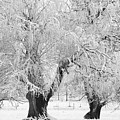 Three Trees In The Snow - Bw Fine Art Photography Print by James BO Insogna