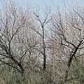 Three Trees by Laurel Powell
