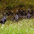 Three Turkeys by David Lee Thompson