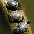 Three Turtles On A Log by Susan Heller