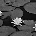Three Water Lilies  by Krista Russell