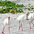 Three White Ibis Walking On The Beach by Edit Szoke
