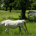 Three White Lipizzan Horses Grazing In A Field At The Lipica Stu by Reimar Gaertner