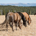 Three Wild Mustangs by Roberta Peake