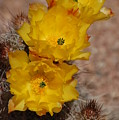 Three Yellow Cactus Flowers by Frank Stallone