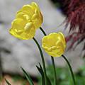 Three Yellow Garden Tulips Flowering In Spring by DejaVu Designs