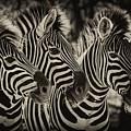 Three Zebra by Jan Van der Westhuizen