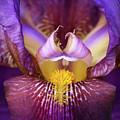 Throat Of The Iris by Joy Schmitz