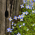 Thyme-leaved Bluets - D008426 by Daniel Dempster