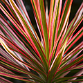 Ti Plant Cordyline Terminalis Red Ribbons by Sharon Mau