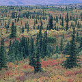 Tiaga Fall Colors, Tundra And Spruce by Rich Reid