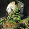 Tian Tian Hanging Out In Panda Man Cave by Emmy Vickers