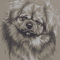 Tibetan Spaniel by Barbara Keith