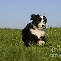Tibetan Terrier Puppy by Jean-Louis Klein & Marie-Luce Hubert