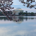 Tidal Basin Blossoms - Jefferson Memorial by Ronald Reid