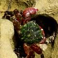 Tide Pool Crab 2 by Marta Robin Gaughen