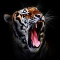 Tiger 10 by Ingrid Smith-Johnsen