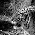 Tiger 2 Bw by Ernie Echols