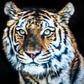 Tiger 2017 by David Millenheft