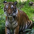 Tiger by Anthony Jones