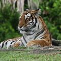 Tiger by Bill Linhares
