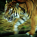 Tiger Burning Bright by Rebecca Sherman