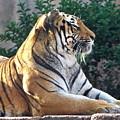 Tiger by Carol  Bradley