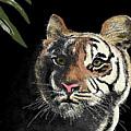 Tiger by Carole Boyd