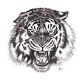 Tiger by Chris Randall