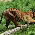 Tiger Clawed by Terry Cobb