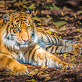 Tiger Cub      Pr2 by Ray Warren
