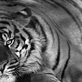 Tiger Eyes White by Brad Scott