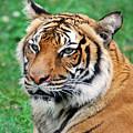 Tiger Face by Teresa Blanton