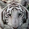 Tiger Head Shot by Pamela Walton